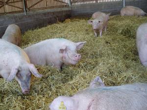 élevage porcs sur paille