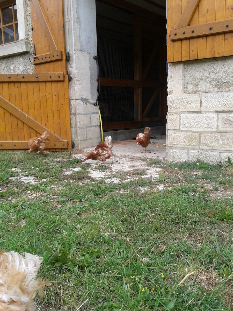 Les poules sortent des bâtiments et découvrent le plein air.