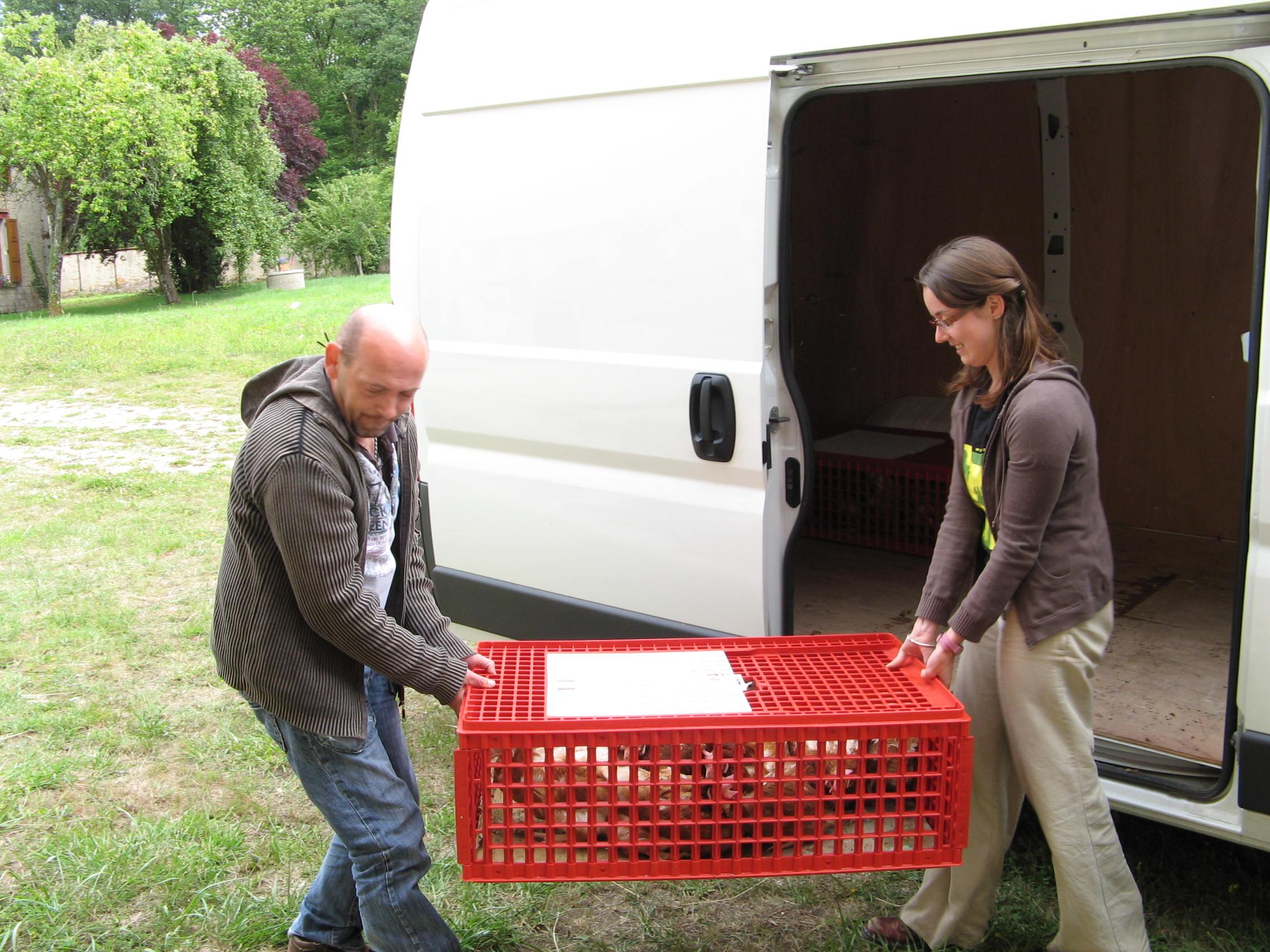 Les caissettes dans lesquelles les poules ont voyagé sont déchargées avec soin.