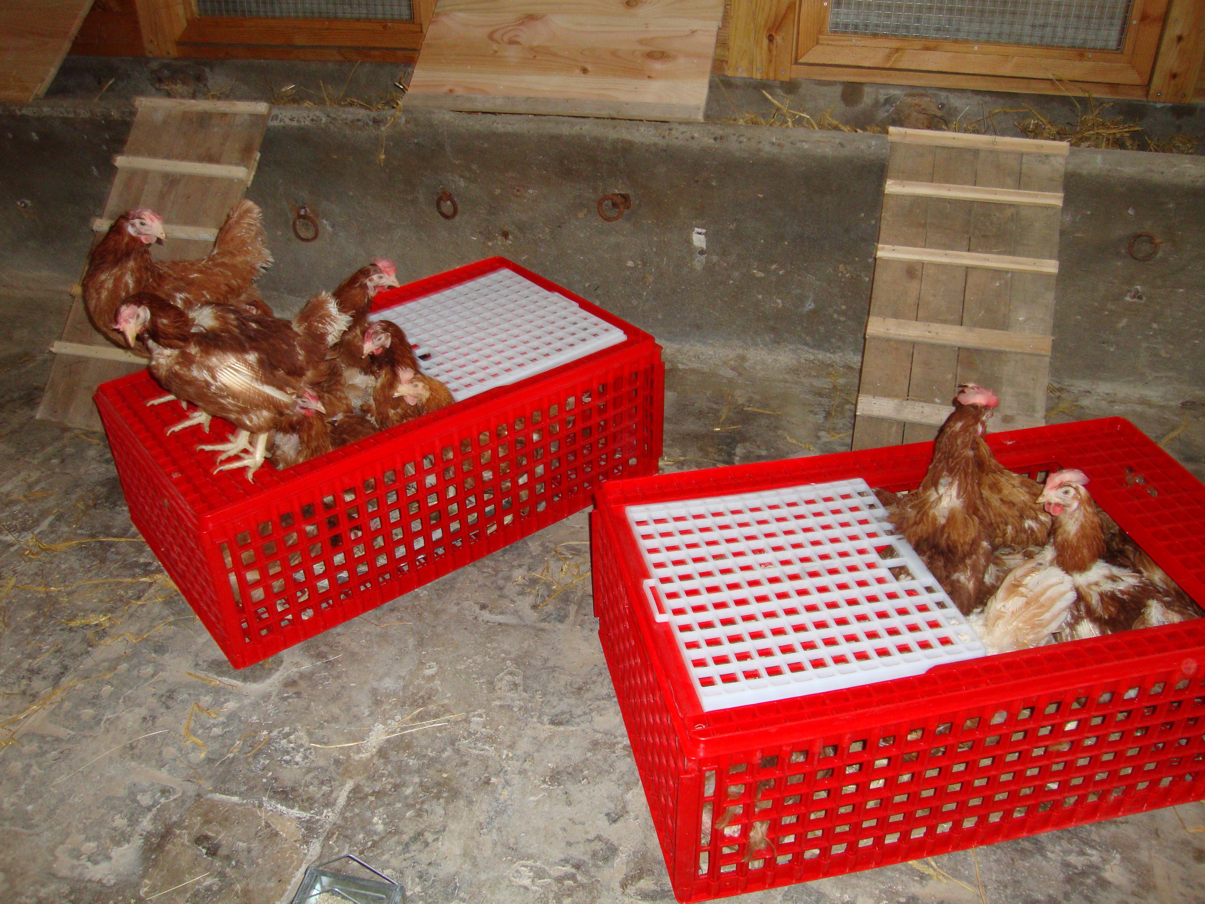 Il ne suffit que de quelques minutes pour que les poules expriment des comportements qui leur étaient jusque là interdits...