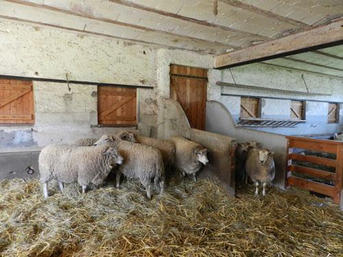 Avant la tonte des moutons