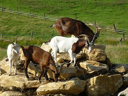 Premiers pas des chèvres sur le pierrier