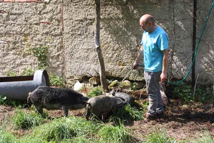Les cochons ayant du mal à réguler la température de leur corps, l'eau à volonté est indispensable lors des fortes chaleurs.