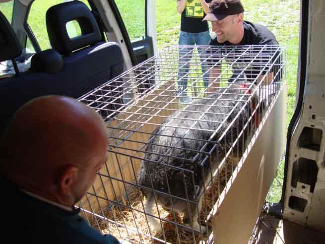 Arrivée à la ferme, l'équipe débarque les animaux. Âgé de 5 mois, Oscar n'est déjà plus léger !