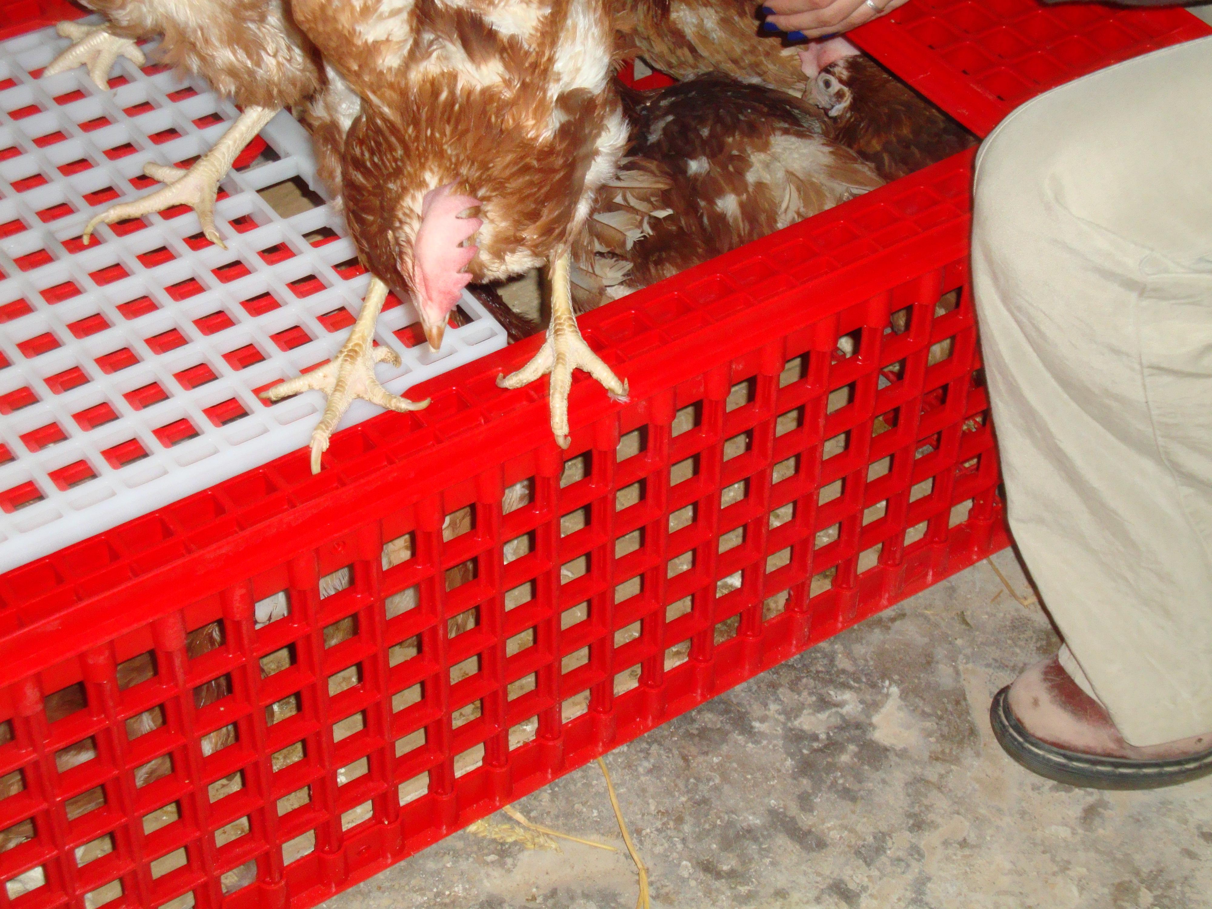 Dès l'arrivée des poules, un soin important est nécessaire : la coupe des griffes.