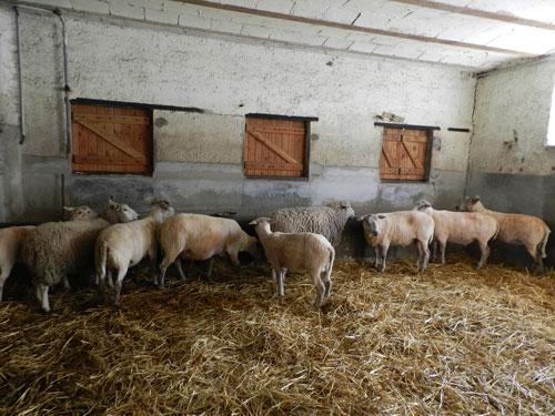 Moutons tondus et non tondus
